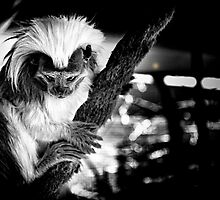 Cotton Top Tamarin by NationalZooAust