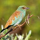 European Roller by jozi1