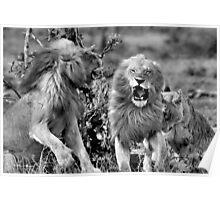 ANOTHER RARE MOMENT - THE LION – Panthera leo - LEEU Poster