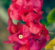 Beautiful Red Bougainvillea by Mudith Jayasekara