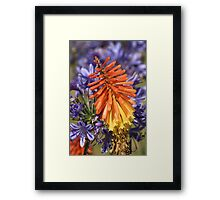 flower-red hot poker Framed Print