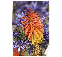 flower-red hot poker Poster