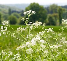 Cow Parsley by Circe Lucas