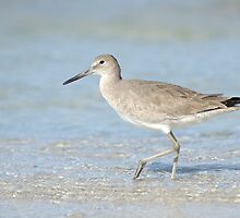 Winter Willet in Florida by Heather Pickard