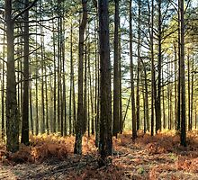 Sunlit Trees on the Ashdown Forest by Natalie Kinnear