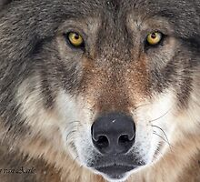 ... yes...I am a wolf-addict...  by John44