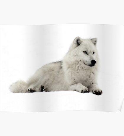 Stunning Arctic Wolf Poster