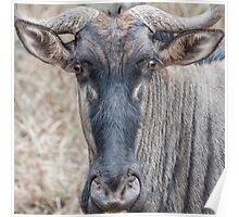 Wildebeest stare Poster