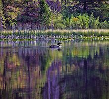 Lone Loon On Moose Lake by Brenton Cooper