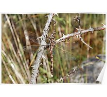 Blue-spotted Hawker (Aeshna Brevisyla) Dragonfly Poster
