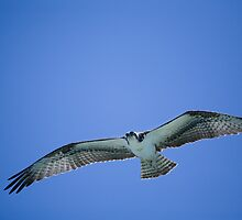 Osprey in Flight by lattapictures