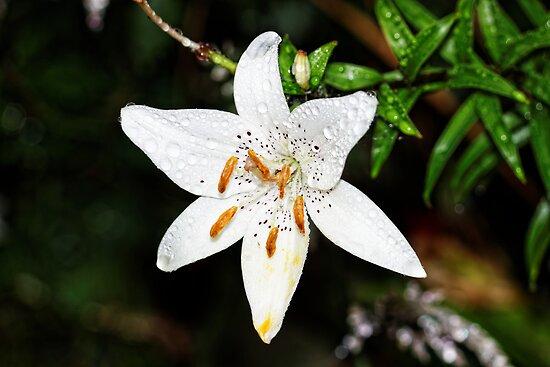 Portfolio     Asiatic Lily  Tiger Lily  White Tiger   Lilium  flowerWhite Tiger Lily Flower
