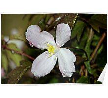 Clematis Montana (Grandiflora) flower Poster
