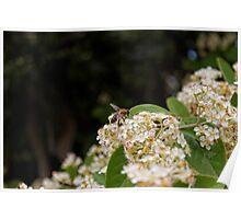 Honey Bee (Apis Mellifera) Poster