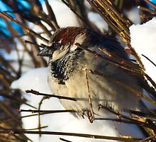 House Sparrow by Tom Gotzy