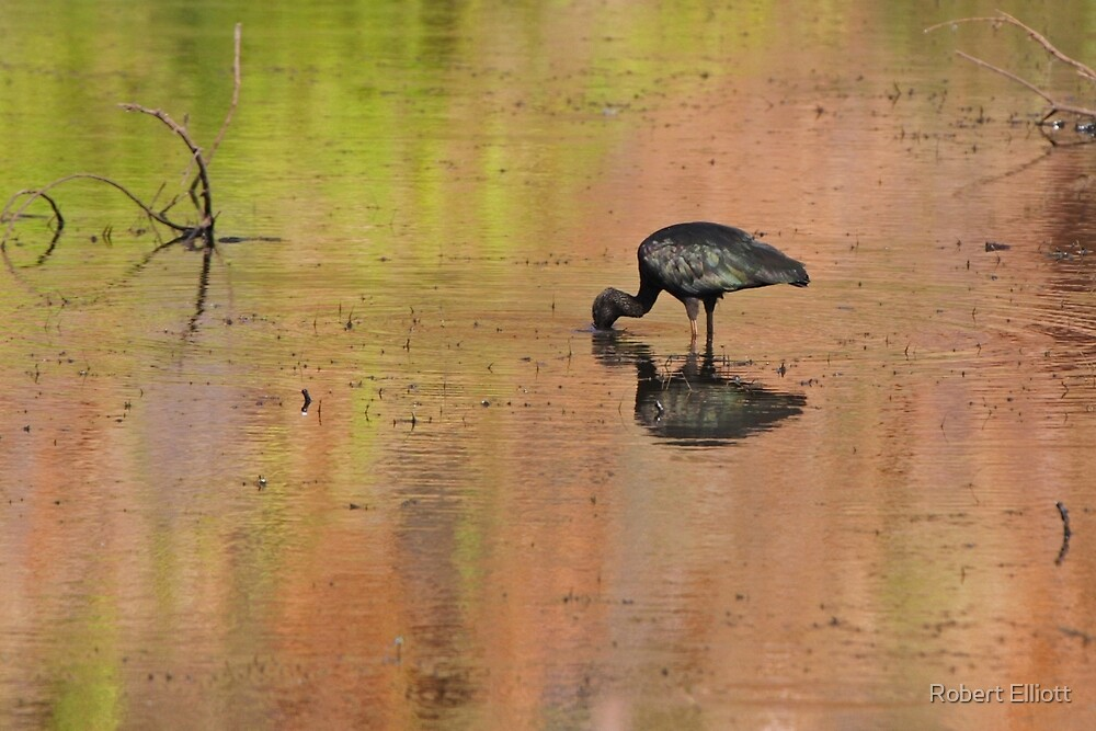 Glossy Ibis ~ Kimberley Colours #1 by Robert Elliott