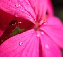 Pink Geranium by aldemore