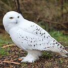 Snowy Owl by Dorothy Thomson