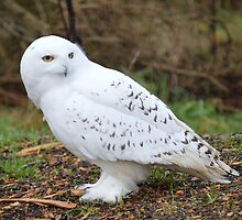 Snowy Owl by Dorothy Thomson