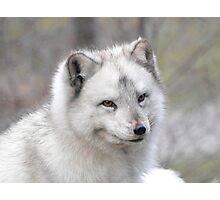 """""""Elf"""" The Arctic Fox Photographic Print"""