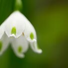 White Bell Flower by Susan Tong