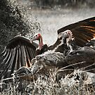 Vultures on carrion, Kruger by herbpayne