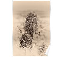 Plant, Wild teasel, Dipsacus fullonum, Seed heads Poster