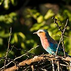 Lilac Breasted Roller by vivsworld