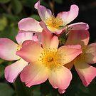 Roses by annalisa bianchetti