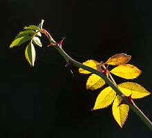 Rose Leaves Backlit by Sue Robinson