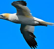 Gannet in Flight (V) by Neil Cameron