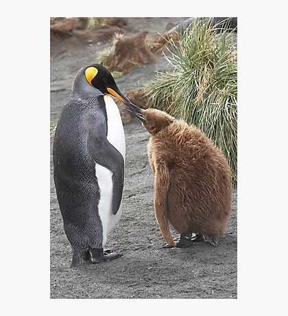 King Penguin and chick ~ Meal Time Photographic Print