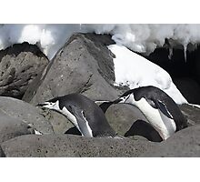 "Chinstrap Penguins ~ ""Follow the leader"" Photographic Print"