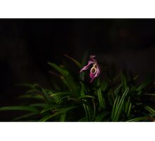 Pitcher Orchid Photographic Print