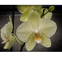 Yellow Phalenopsis Orchid  Photographic Print