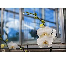 White Phalenopsis Orchid Photographic Print