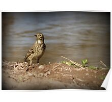 American Pipit Poster