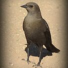 Brewers Blackbird~ Female by Kimberly Chadwick