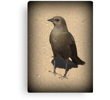 Brewers Blackbird~ Female Canvas Print