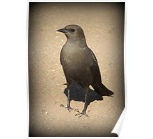 Brewers Blackbird~ Female Poster