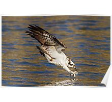 Osprey just before impact Poster