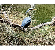 Pied Heron Photographic Print
