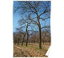 Very tall plum trees in an orchard Poster