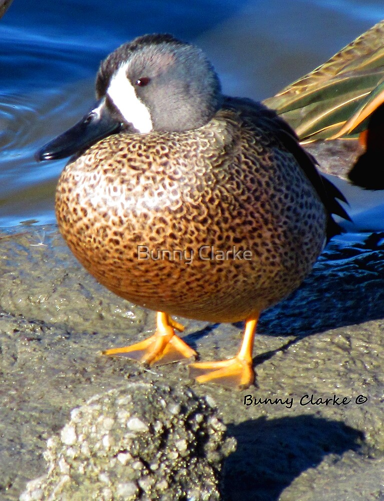 Blue Winged Teal by Bunny Clarke
