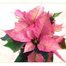 Pink Poinsettia by LouiseK