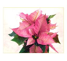 Pink Poinsettia Photographic Print
