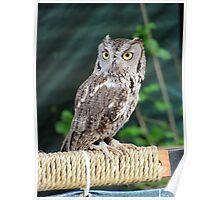 Sad owl - prisoner - Juneau - Alaska  Poster