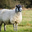 The interrupting Sheep... by JEZ22