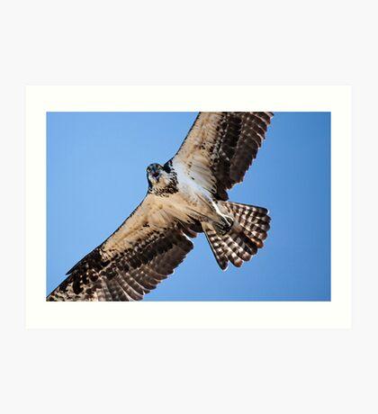 Angry Osprey Art Print