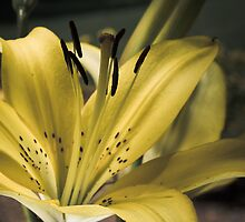 Daniellow Lily 5 by Stevegracy